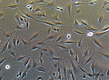 PureStem ES-210, Ecto-ntu Progenitor Cells