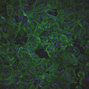 Cytiva Plus Cardiomyocytes 3.5X106 viable cells