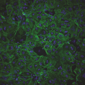Cytiva Cardiomyocytes 1.0X10⁵ viable cells