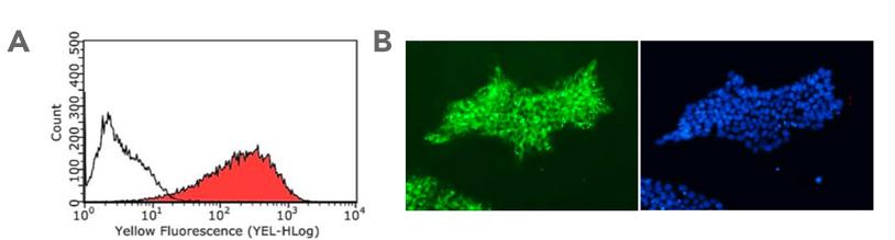 TRA-1-81 anti-Human Antibody